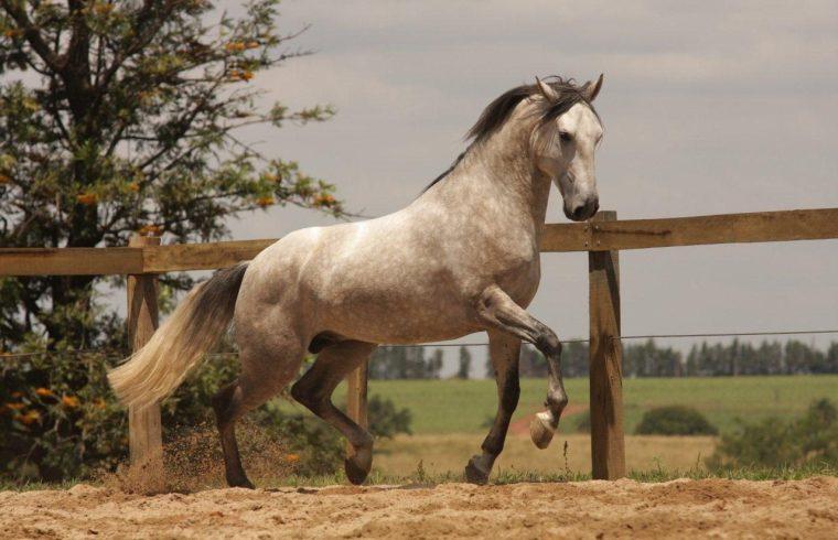 Raza de caballos Lusitano