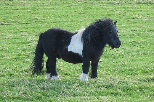 Elcaballo poni de Shetland disfrutando al aire libre