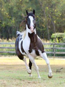 Caballo Paint Horse al aire libre